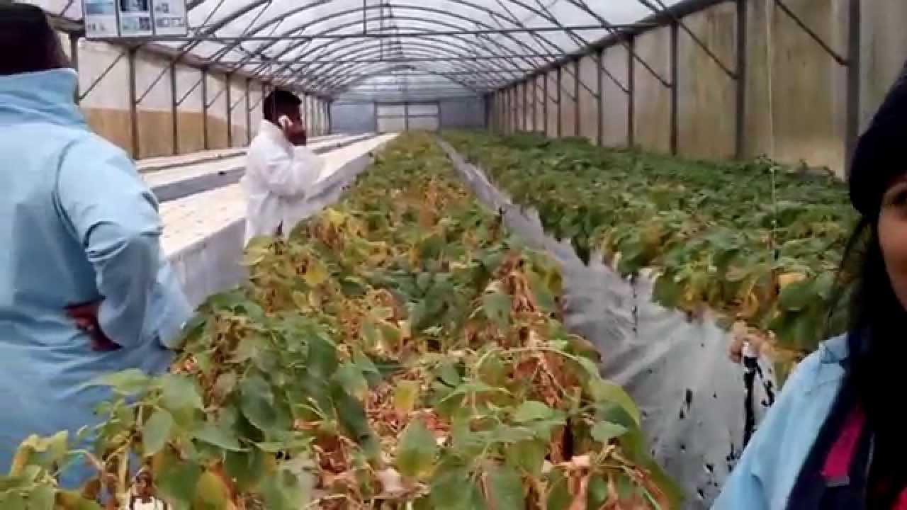 chilli cultivation in sri lanka pdf