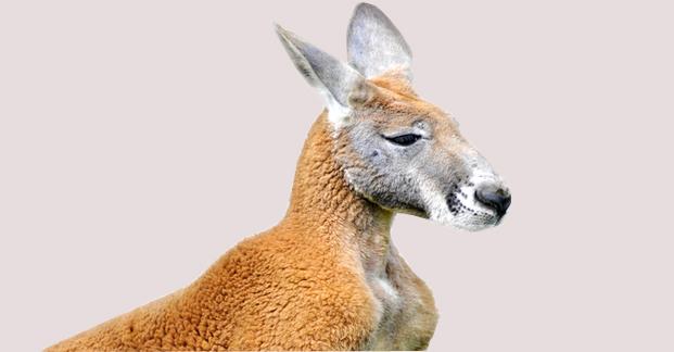 kangaroo shooting code of practice pdf